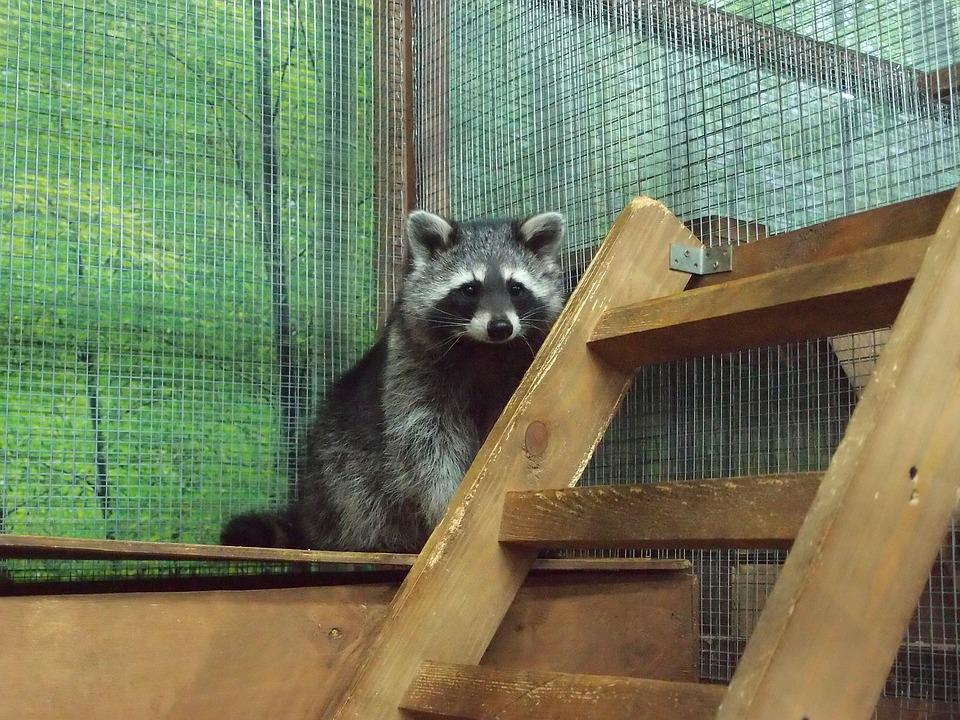Zoo, Petting Zoo, Animals, Mini Zoo, Raccoon, Raccoons