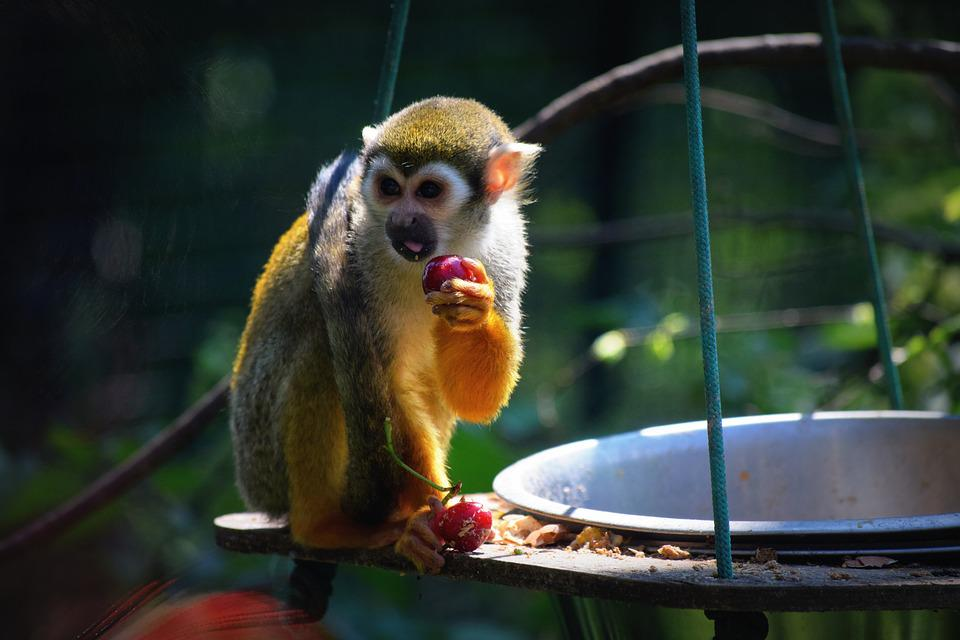 Monkey, Zoo, Food