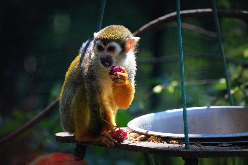 Monkey, Zoo, Food