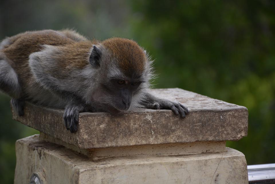 Monkey, Macaque, Animal, Mammal, Nature, Humps, Zoo