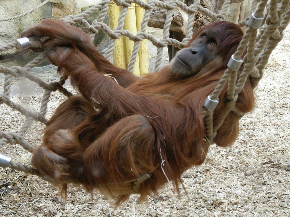 Monkey, Zoo, Orang Utan, Animal