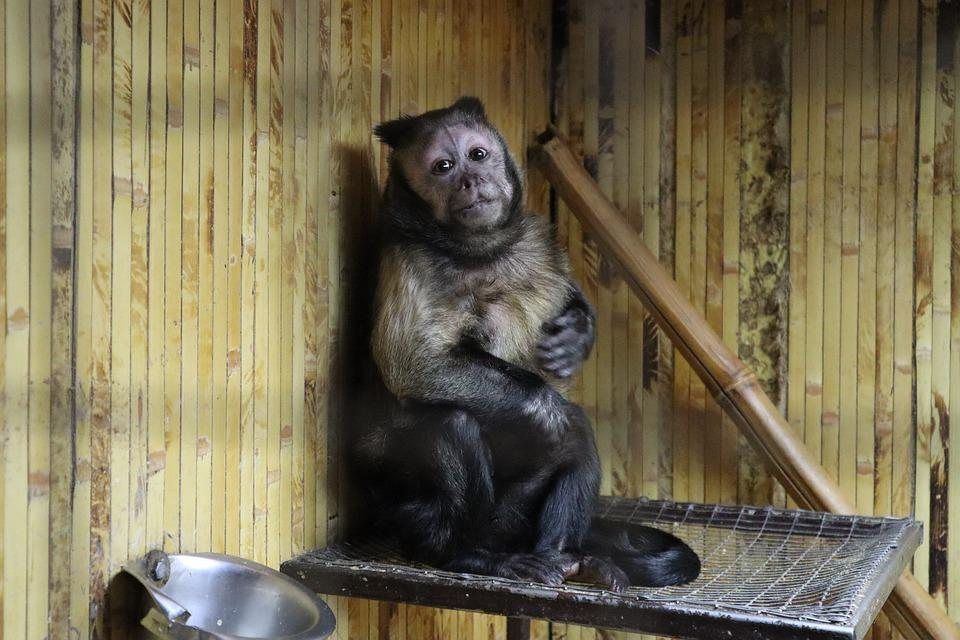 Brown Capuchin, Monkey, Capuchin, Animals, Zoo, Primacy