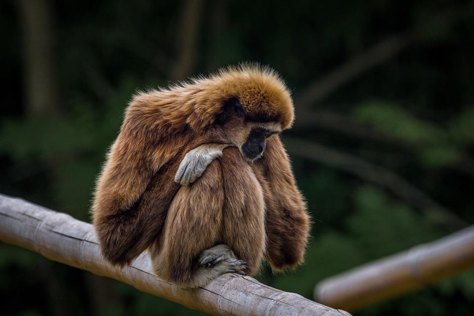Gibbon, Monkey, Zoo, Animal World, Primate, Nature, Sit