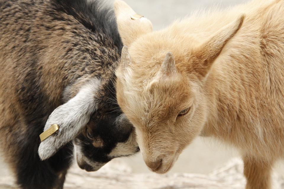 Goats, Lambs, Young, Zoo, Animal, Nature, Mammals