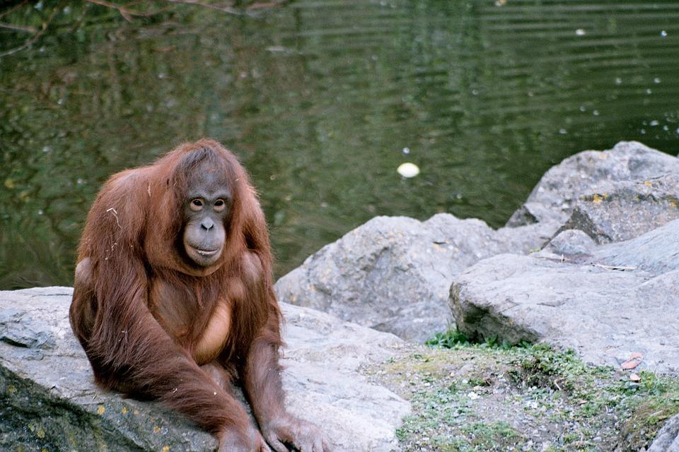 Orangutan, Zoo, Rocks, Mammal, Thinking, Nature, Animal