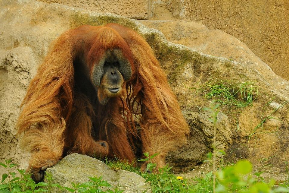 Orang Utan, Zoo, Animal, Monkey