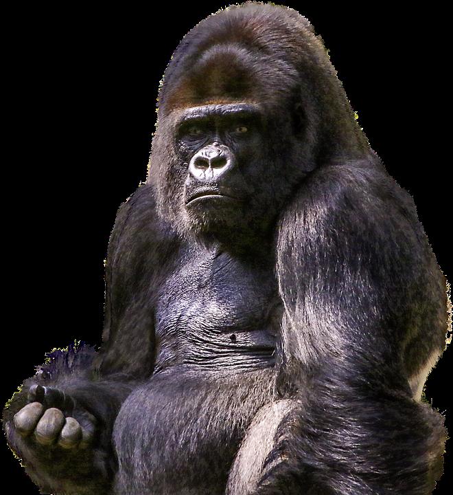 Gorilla, Primate, Animal, Wild, Zoo, Mammal, Ape, Png