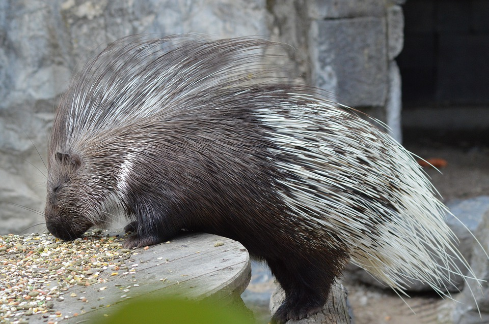 Animal, Porcupine, Zoo, Eat, Seeds, Rodents, Cute