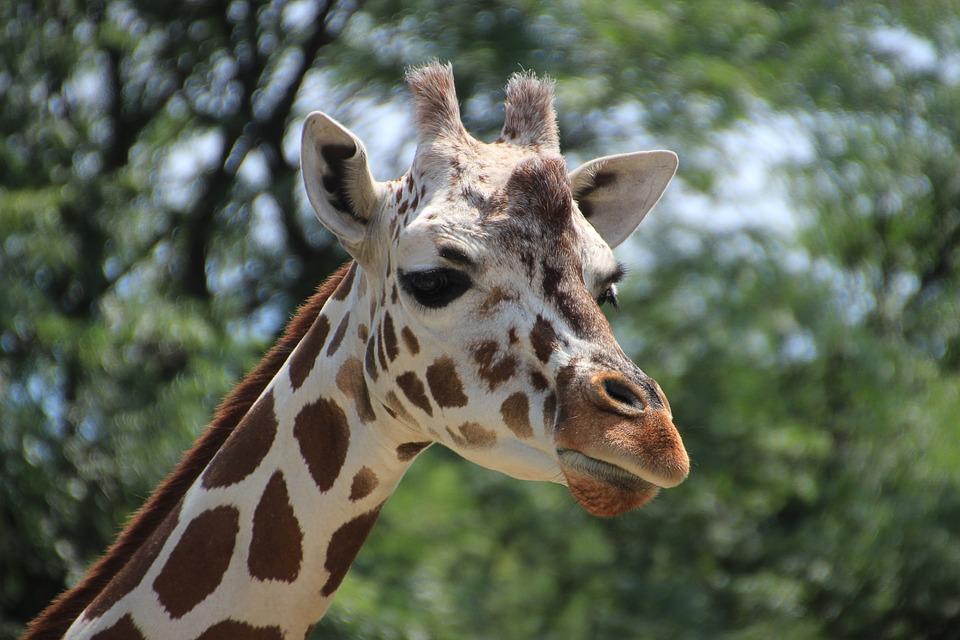 Giraffe, Animal, Zoo, Nature, Head, Portrait