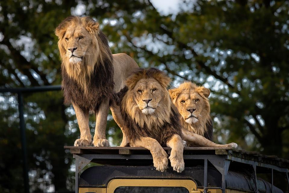Lion, Zoo, Africa, Predator, Animal, Big Cat