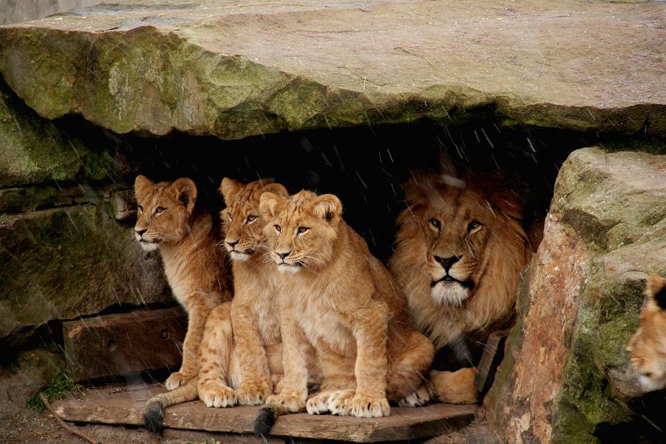 Lion Baby, Lion, Predator, Carnivores, Zoo