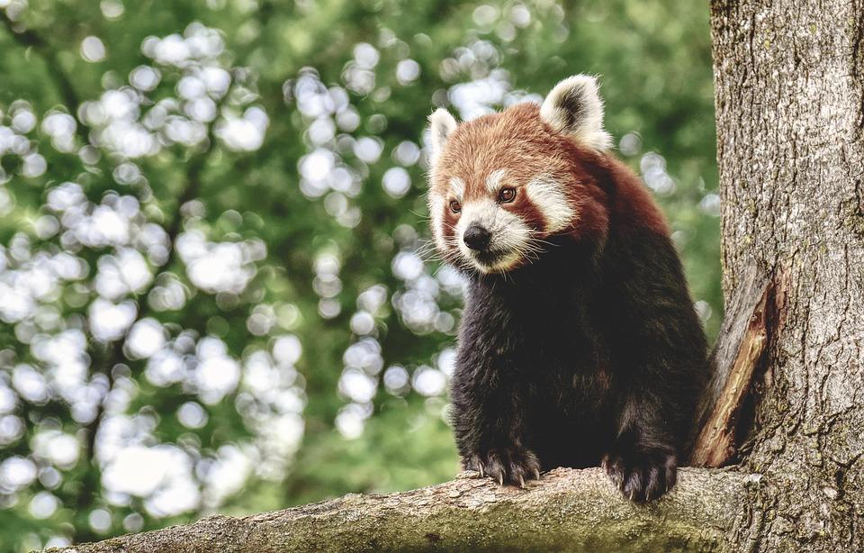 Mammal, Bear Cat, Animal, Red Panda, Predator, Zoo