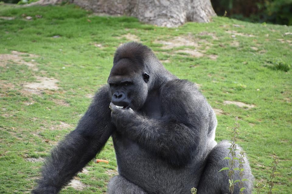 Gorilla, Monkey, Portrait, Zoo, Nature, Primate
