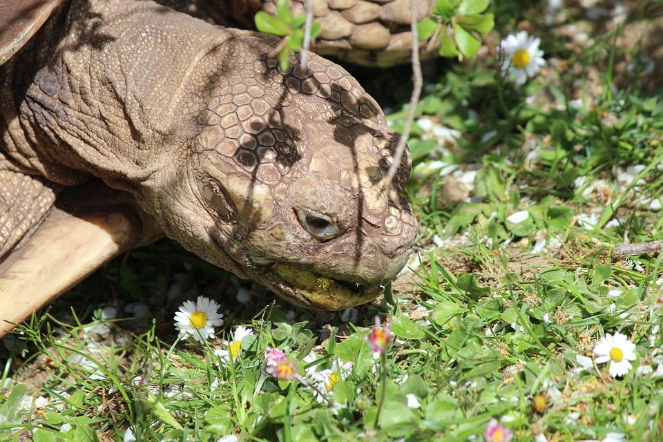 Turtle, Tortoise, Reptile, Animal, Giant Tortoise, Zoo