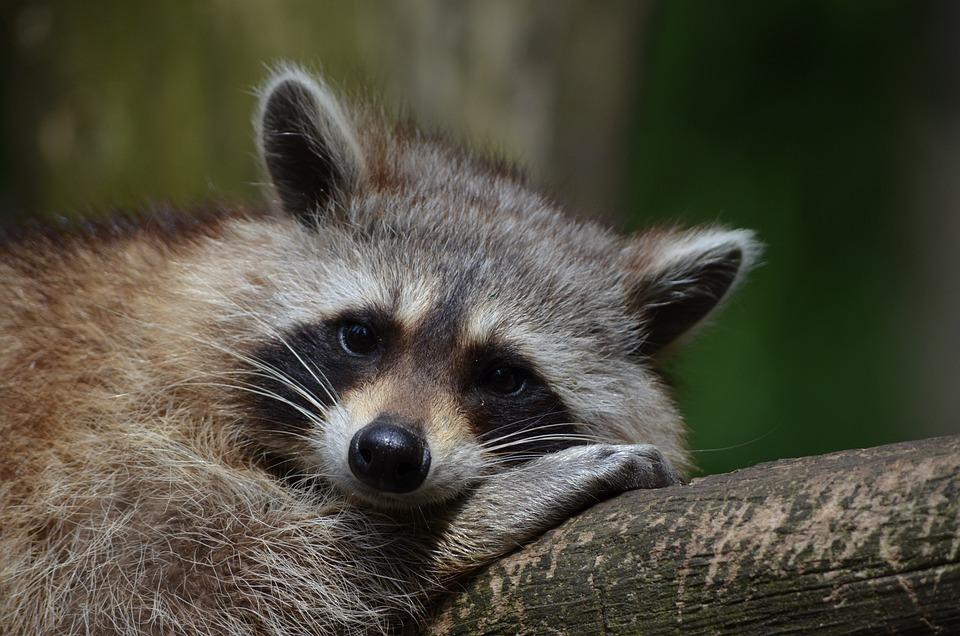Raccoon, Bear, Zoo, Saeugentier