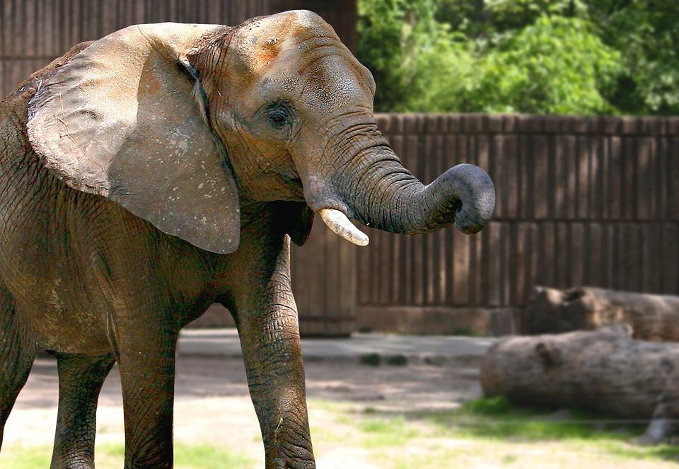 Elephant, Zoo, Nature, Animal, Jungle, Safari