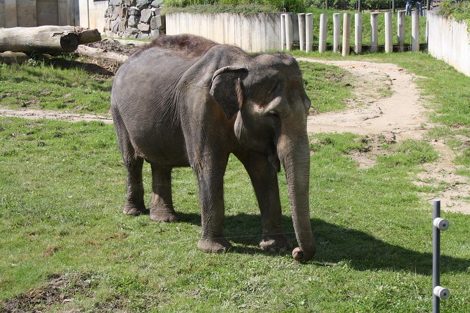 Elephant, Slůně, Zoo