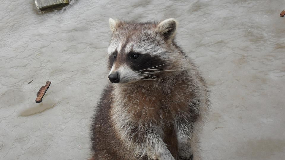 Cute, Animal World, Furry, Raccoon, Zoo, Sweet