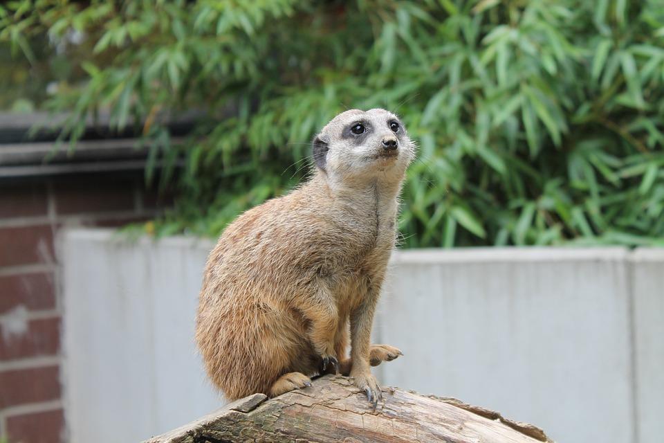 Meerkat, Animal World, Tiergarten, Zoo, Sweet, Small