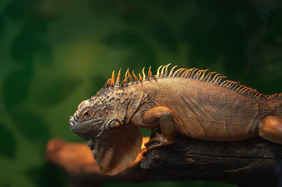 Iguana, Zoo, Reptile, Terrarium