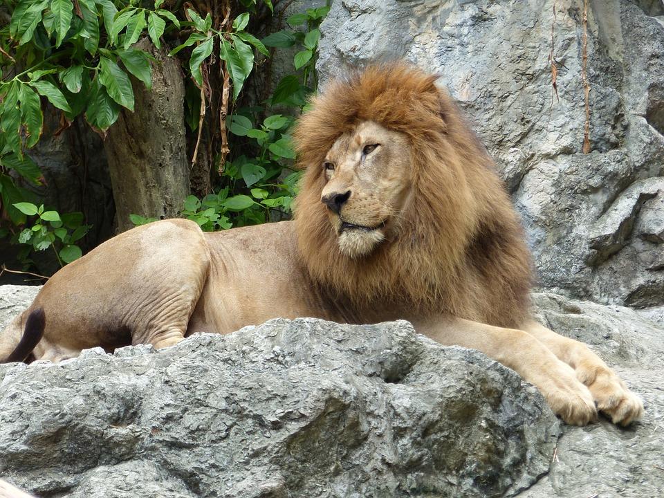 Lion, Zoo, Thailand