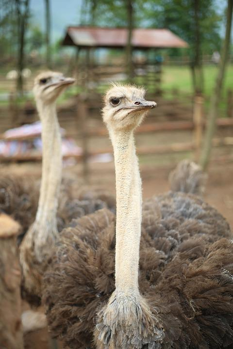Zoo, The Ostrich, Feather