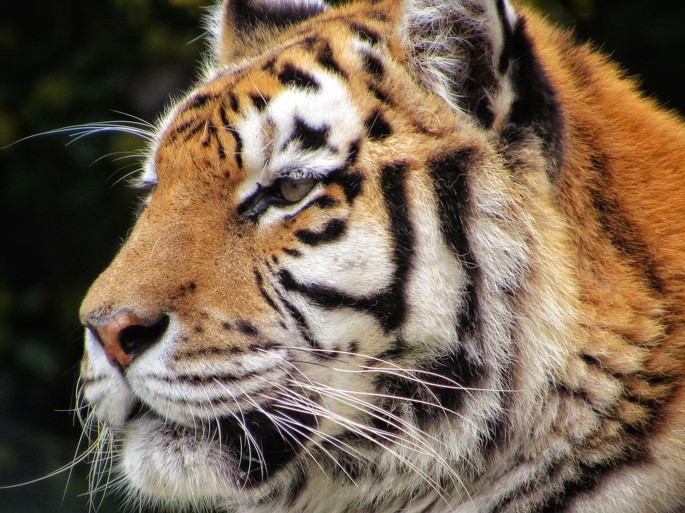 Tiger, Zoo, Animal, Predator, Nature, Wildcat, Siberian