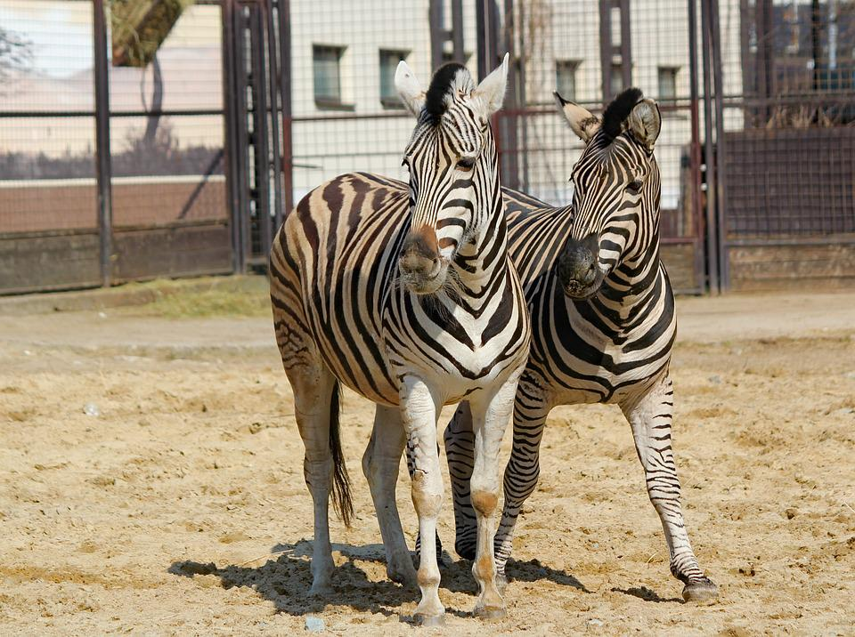 Zebras, A Pair Of, Animals, Ungulates, Stripes, Zoo