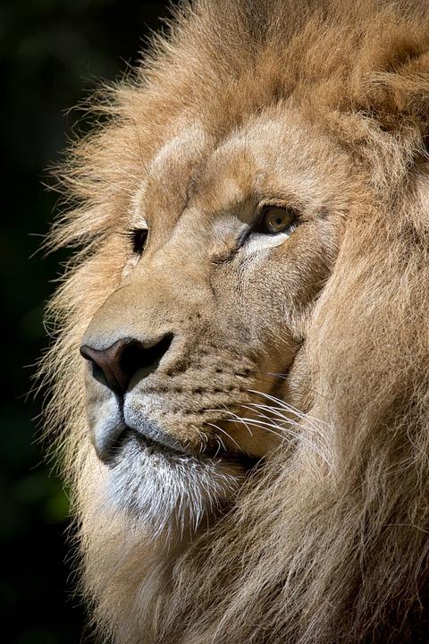 Lion, Wild Animal, Animal, Majesty, Wild, Zoo, Fauna