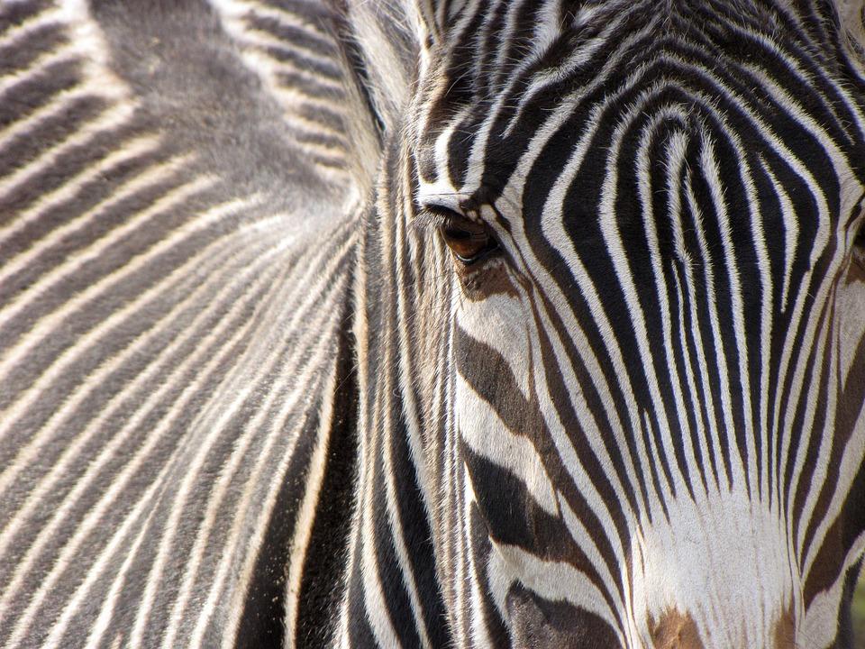 Zebra, Animal, Striped, Black And White, Mammal, Zoo