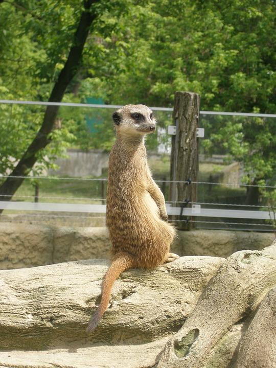 Surykatka, Mammal, Zoo, Zoological Garden