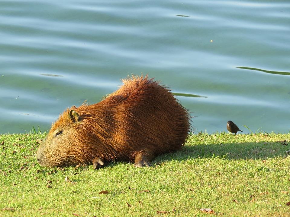 Capybara, Lake, Water, Animal, Wildlife, Wild, Zoology