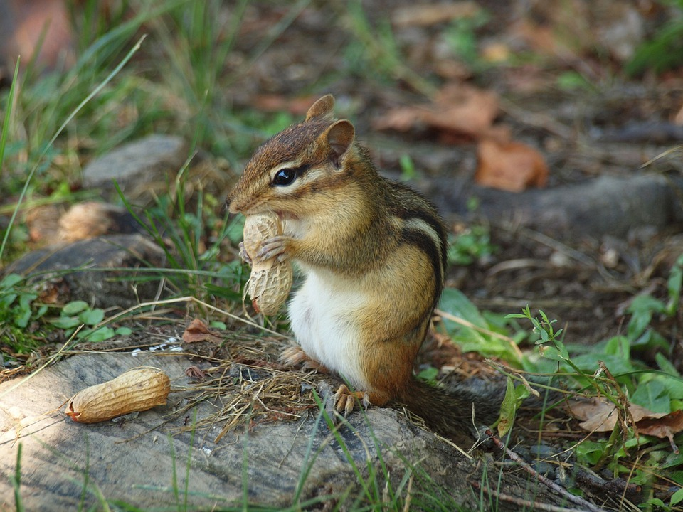 Chipmunk, Cute, Woods, Animal, Wildlife, Wild, Zoology