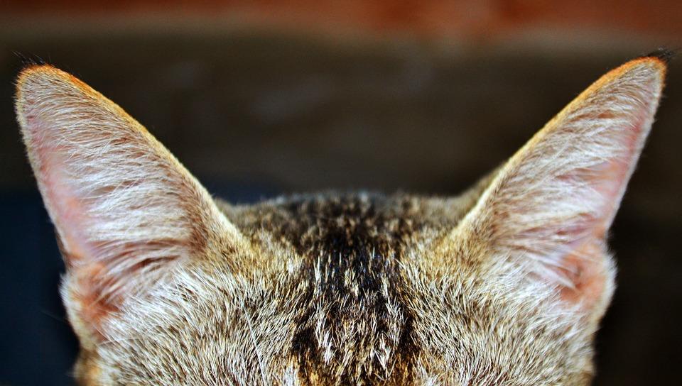 Cat, Ear, Zoom, Unique, Animal, Pet, Ears, Cute