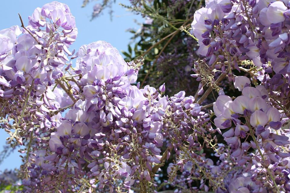 Nature, Spring, Flower, Glycine, Zoom