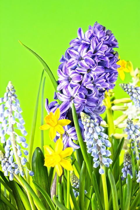 Hyacinth, Muscari, Spring, Zwiebelpflanze, Blue, Green