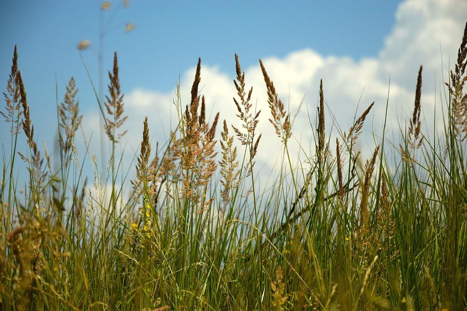 Field, Wheatfield, эeleno, Sky