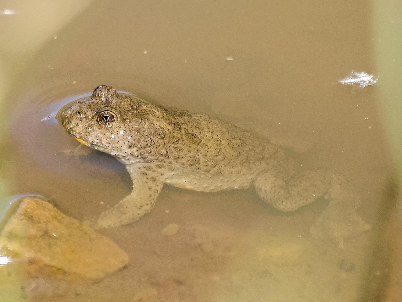 Yellow toad animal