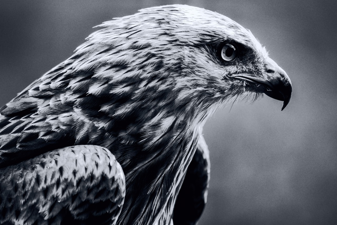 Black and white raptor pictures — pic 1