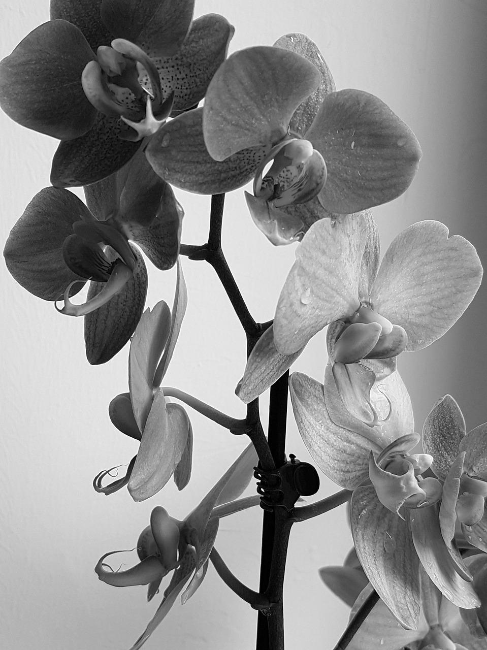 День, открытка черная орхидея