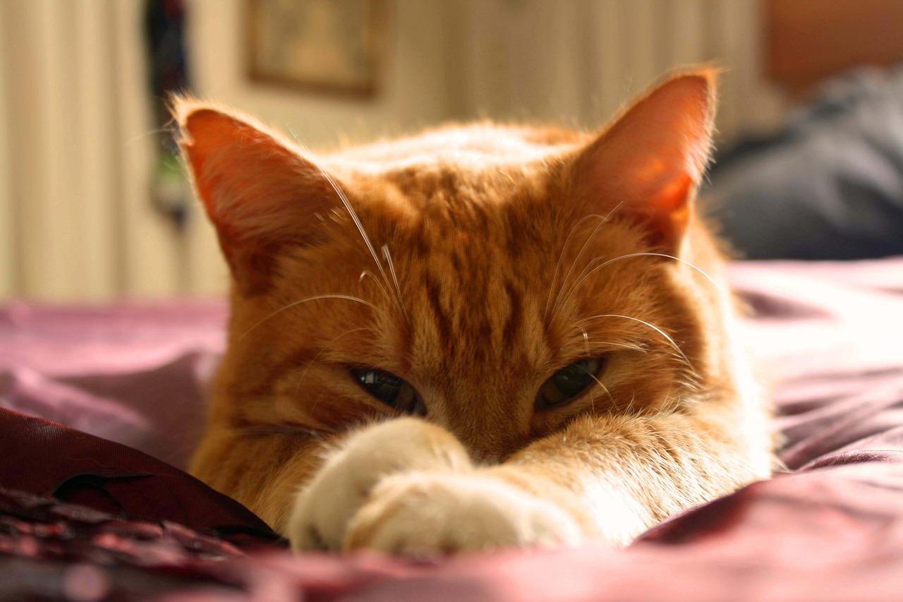 Cute-Pet-Orange-Cat-Ginger-Cat-Cat-Ginger-Tom-1347176
