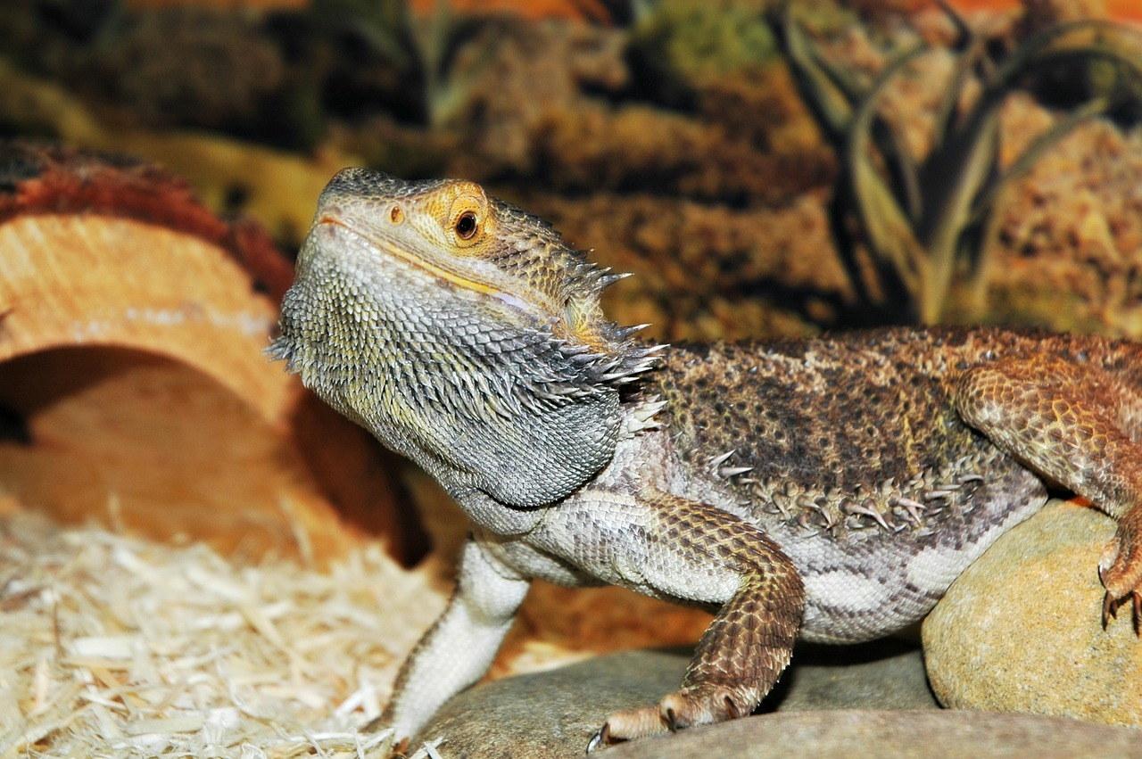Lizards Care Information Learn everything you need to know about lizards from caring for your pet lizard to lizards in the wild