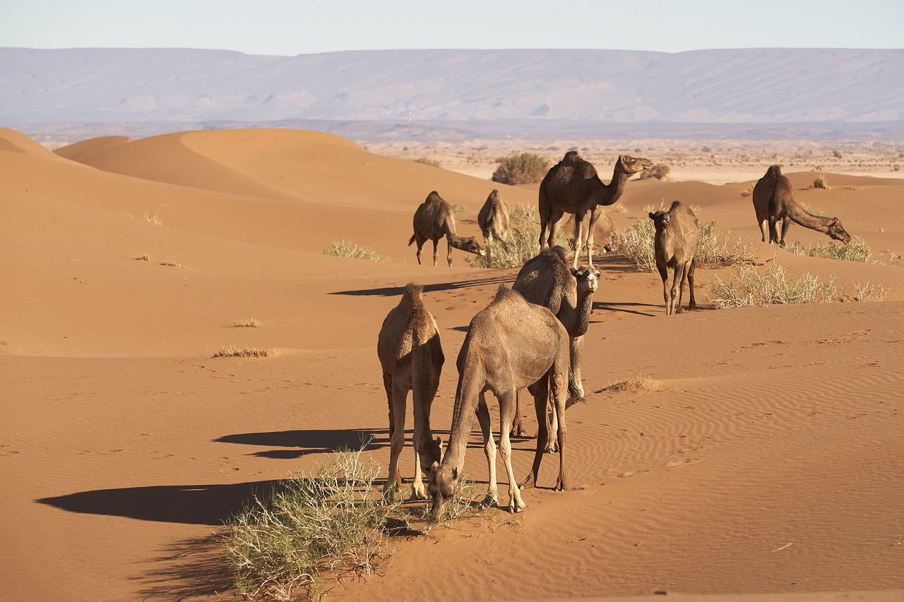 African Camels