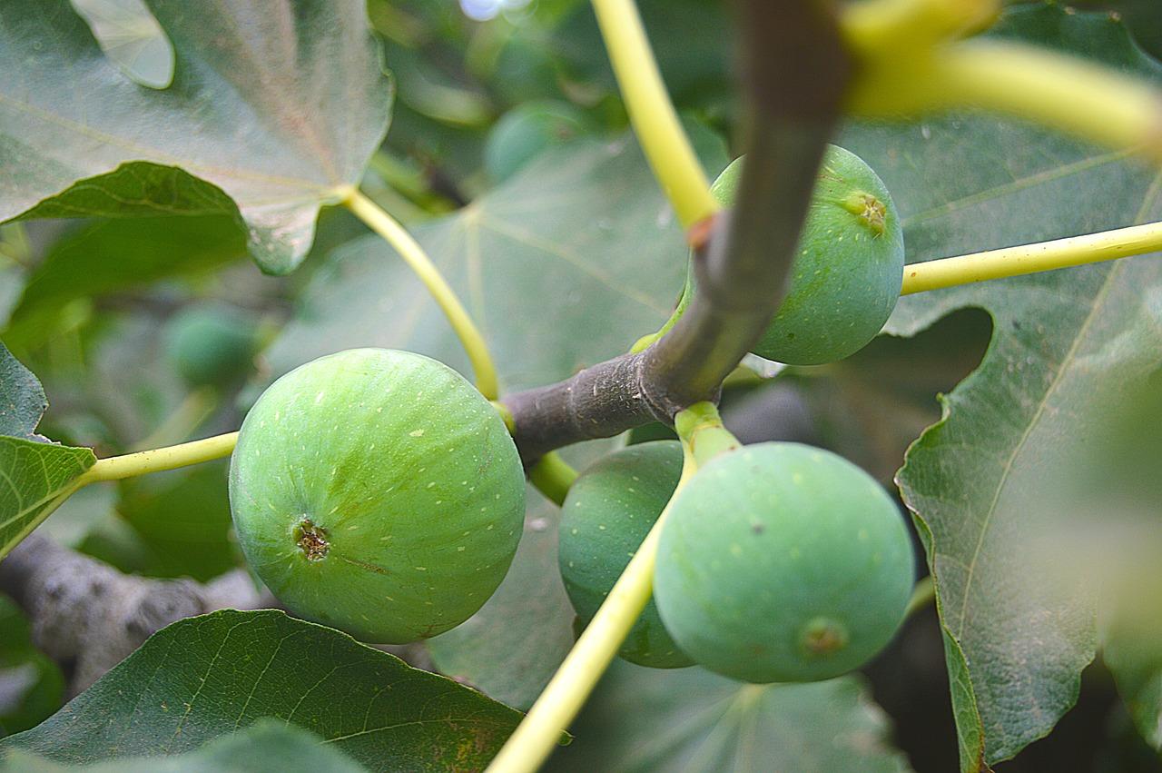 petite-negra-fig-tree-bdsm