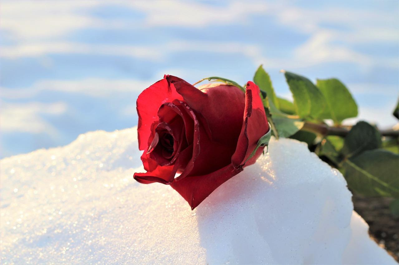 Красивые картинки розы в снегу