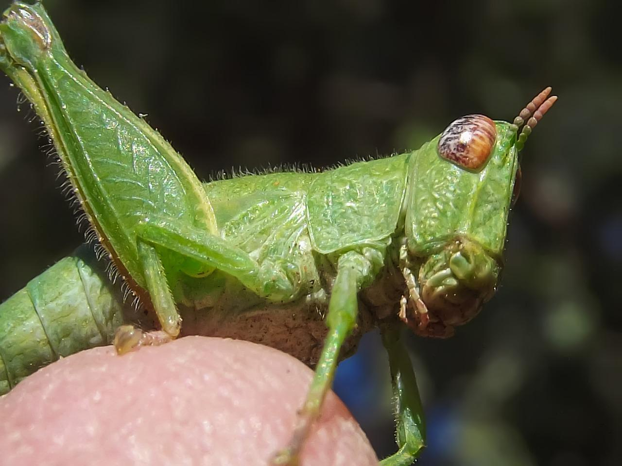 Life Cycle of a Grasshopper Lesson for Kids  Video