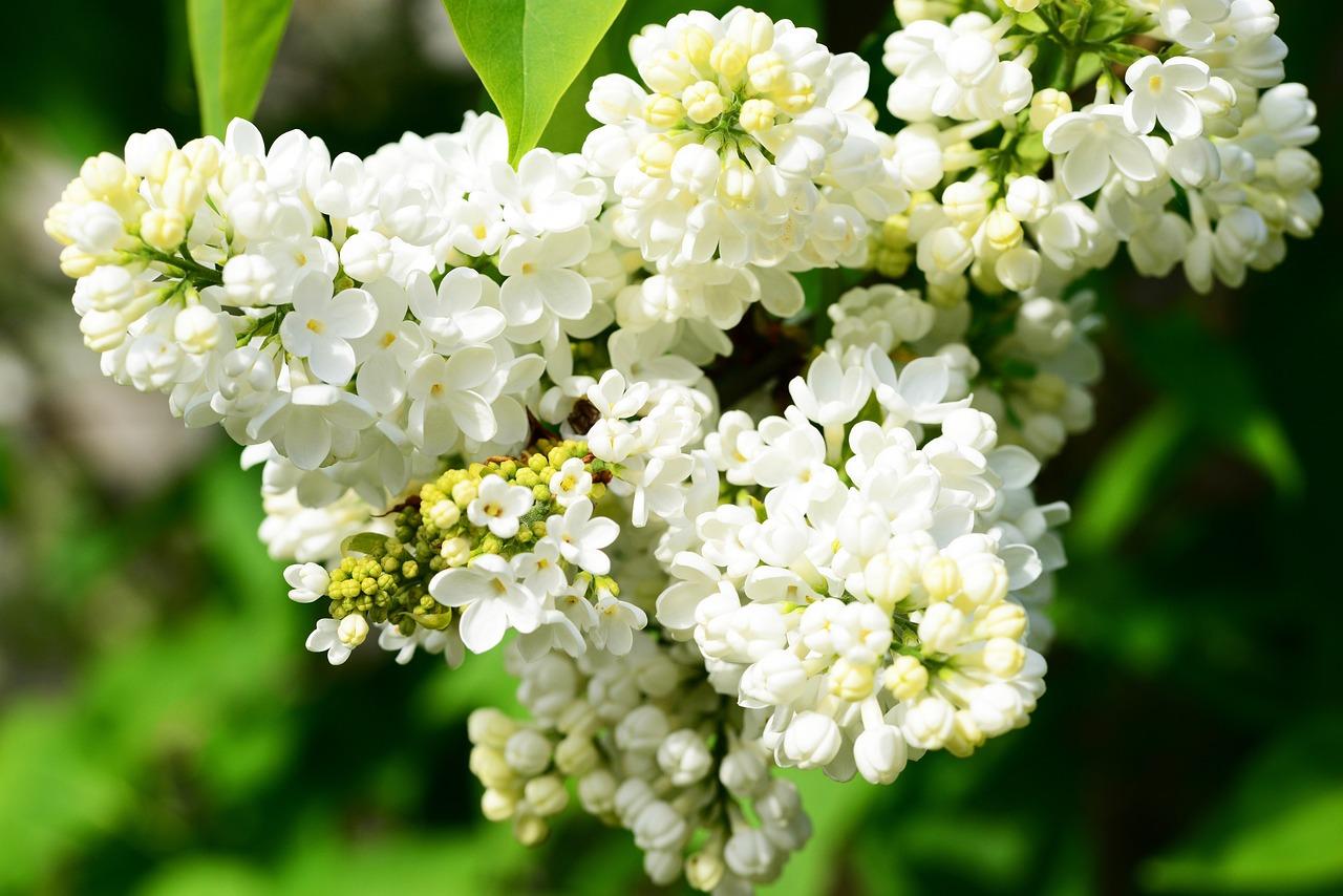 Сирень белая цветов