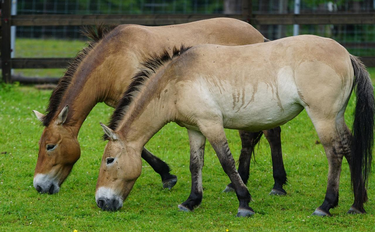 history of the przewalskis horse