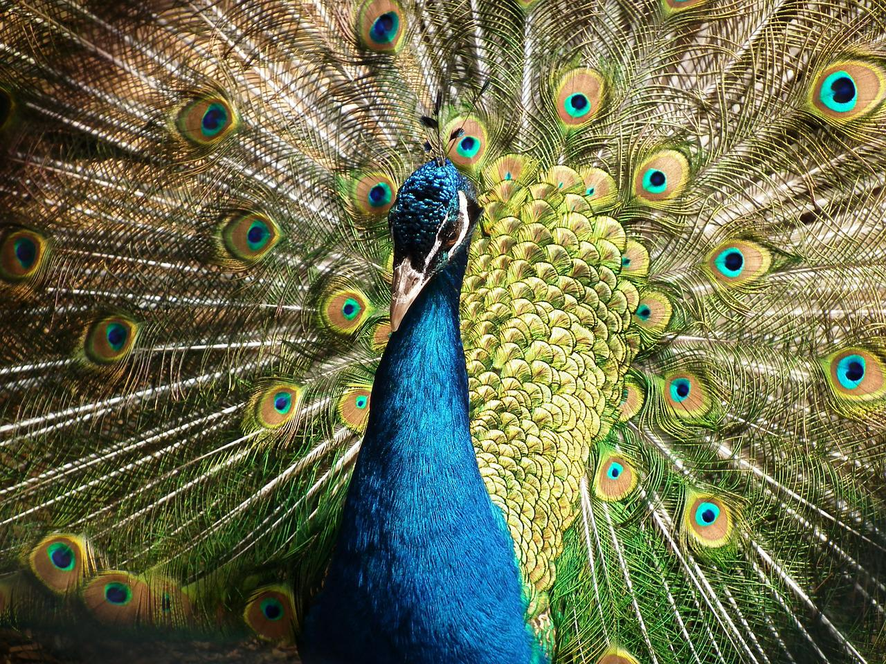 information of peacock bird Peacocks (pavo cristatus) are members of the pheasant family the word peacock actually refers to the male bird, while females are peahens, and the young are peachicks.