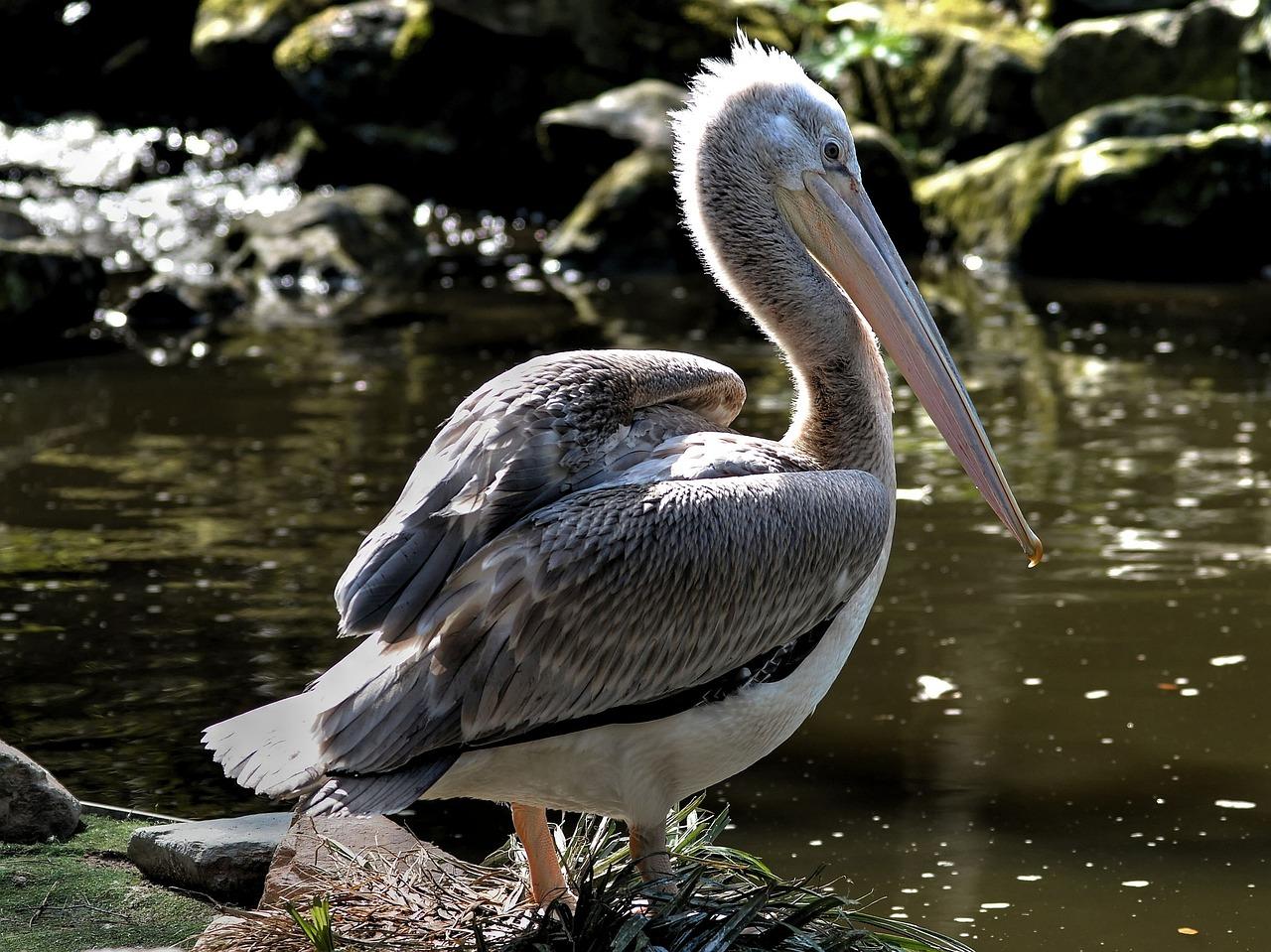 pelicans - HD1280×959